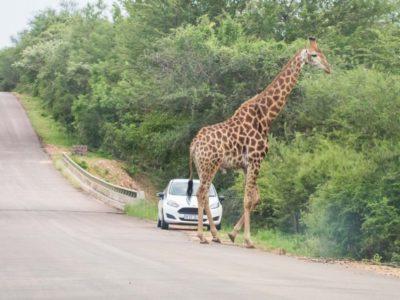 kruger-self-drive-cost-giraffe